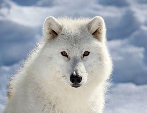 090368 Lupo Artico