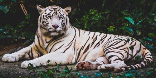 090372 Tigre Bianca dell'Asia