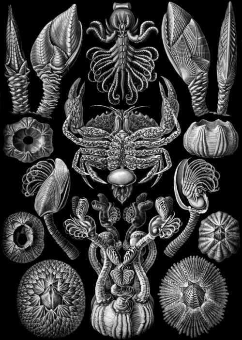 Haeckel Ernst - Cirripedia