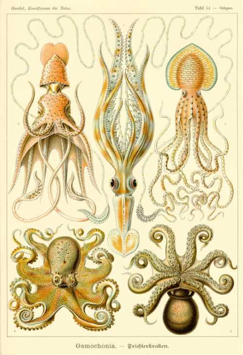 Haeckel Ernst - Gamochonia