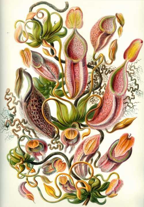 Haeckel Ernst - Nepenthaceae
