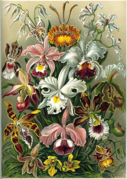 Haeckel Ernst - Orchidae