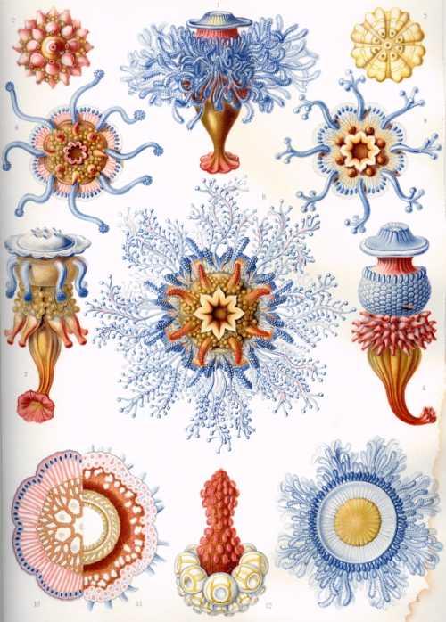 Haeckel Ernst - Siphonophorae 1