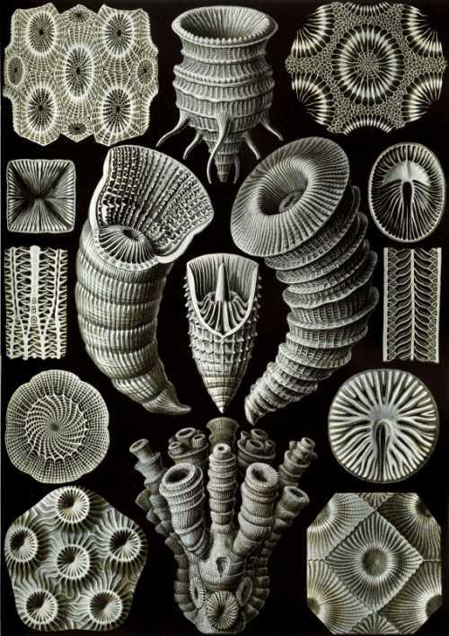 Haeckel Ernst - Tetracoralla