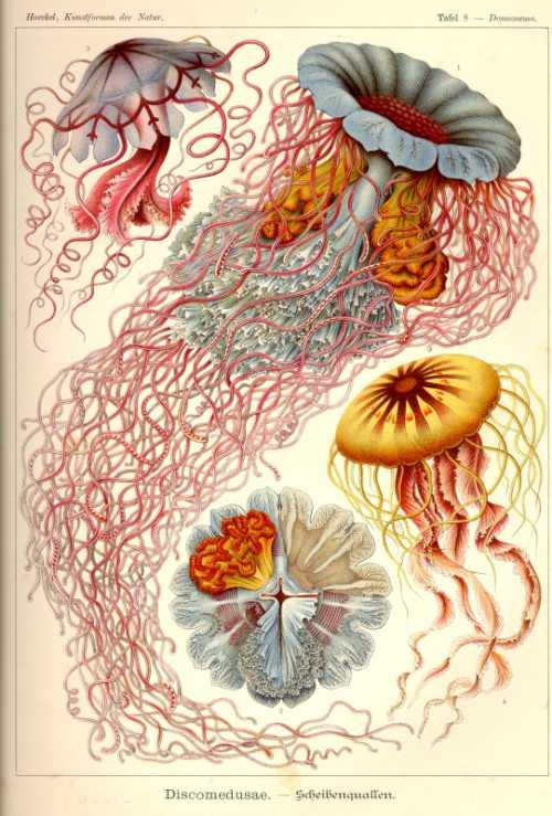 Haeckel Ernst - Discomedusae