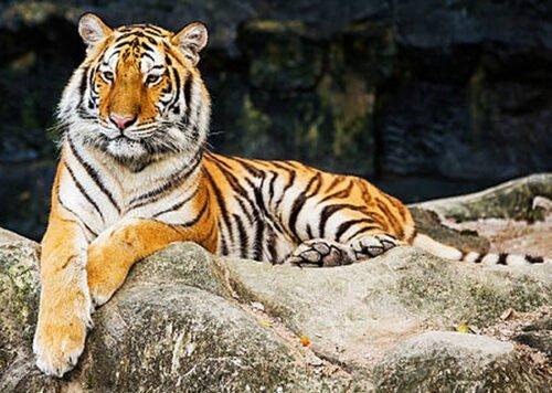 090364 Tigre Bengala