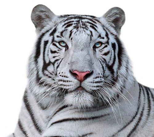 Poster Tigre bianca Bengala